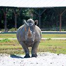 Rhino by Dan Shiels