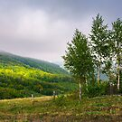 birch trees on a hillside in autumn by mike-pellinni
