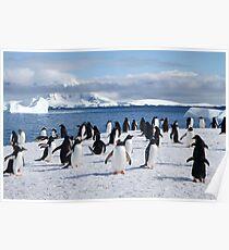 Gentoo penguins (Pygoscelis papua). Antarctica Poster