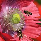Poppies and Bees by Dave646