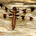 Dragonfly on Wood  by lorilee