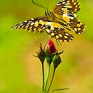Buds and Butterfly by Mukesh Srivastava
