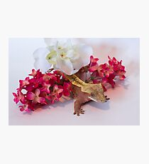Peach the Crestie Photographic Print