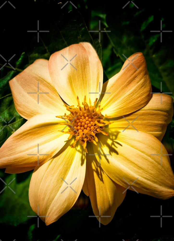 Amber Nectar by Catherine Hamilton-Veal  ©