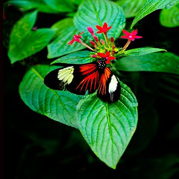 Butterfly Beauty in Red White Black by ginawaltersdorf