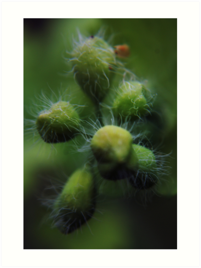 About to blossom (from wild flowers collection) by Antanas