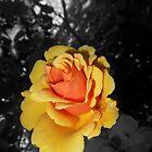 orangegold rose, bwbg 06/05/18 by Shellaqua