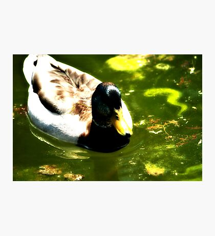 Duck In Nice Green Water Photographic Print