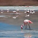 Flamingo by Anita Harris