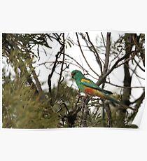 Mulga Parrot Poster
