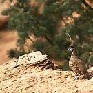 Spinifex Pigeon by Stuart Cooney