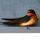 Barn Swallow by Lolabud