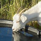 Goat drinking water by Merrimon