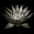 Lotus III by Louise Fahy