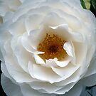White Rose of York by Woodie