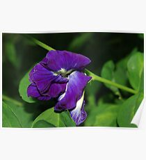 Butterfly Pea Poster