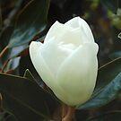 Magnolia Bulb by cshphotos