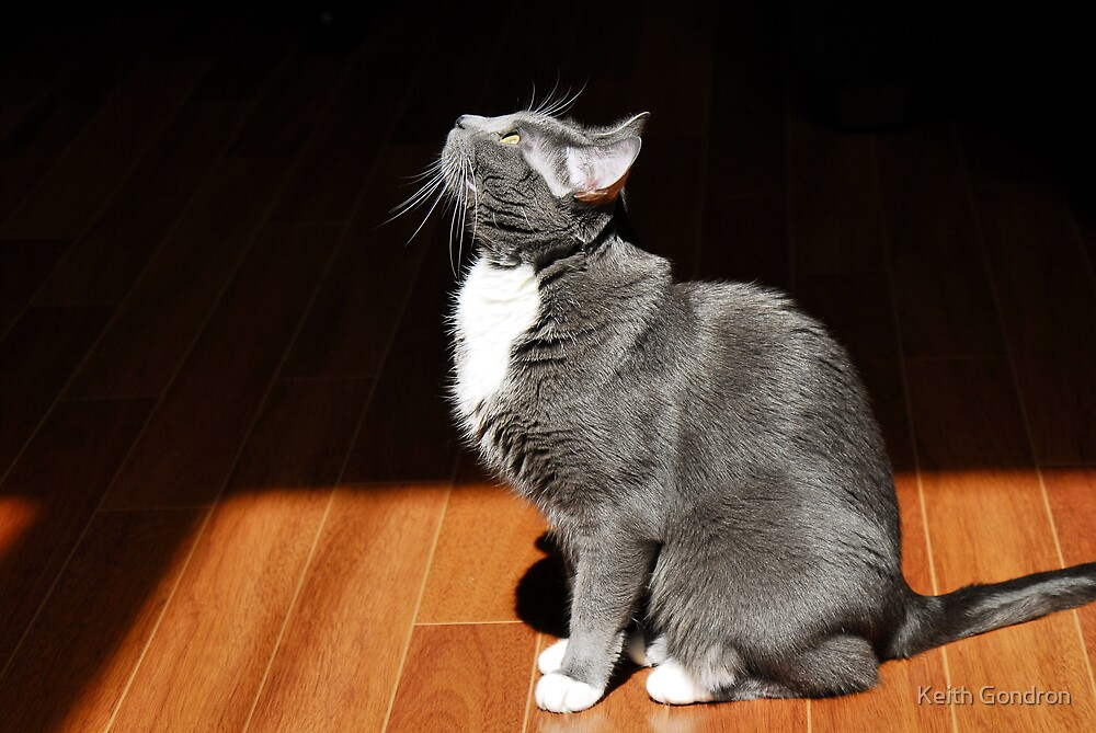 Grey Tuxedo Cat by Keith Gondron