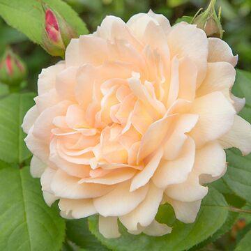 Delicate Petals by Femaleform