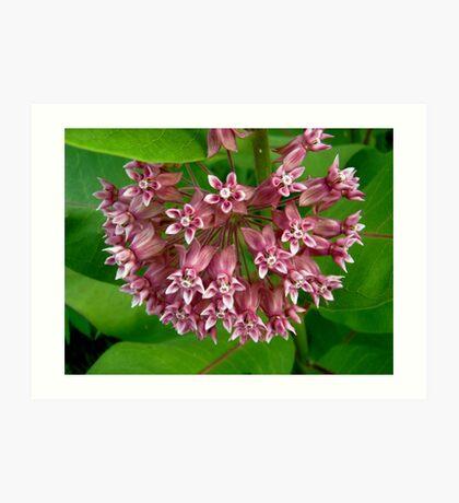 Pink Milkweed Art Print