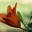 Lilies of the Yard 5 by Lolabud