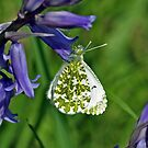 Female Orange Tip by Russell Couch
