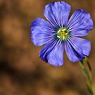 Flax Flower by Amber D Meredith Photography