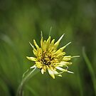 Yellow Salsify...... by DonnaMoore