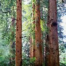 Coastal Redwood Trees Muir Woods National Monument California by Jeff Hathaway