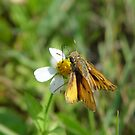 Fiery Skipper  on Bidens alba by May Lattanzio