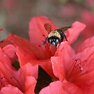 Bumble Bee  On Red Azalea by Dawne Dunton