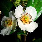 """Bella flor del árbol llamado """" Ulmo"""". by cieloverde"""