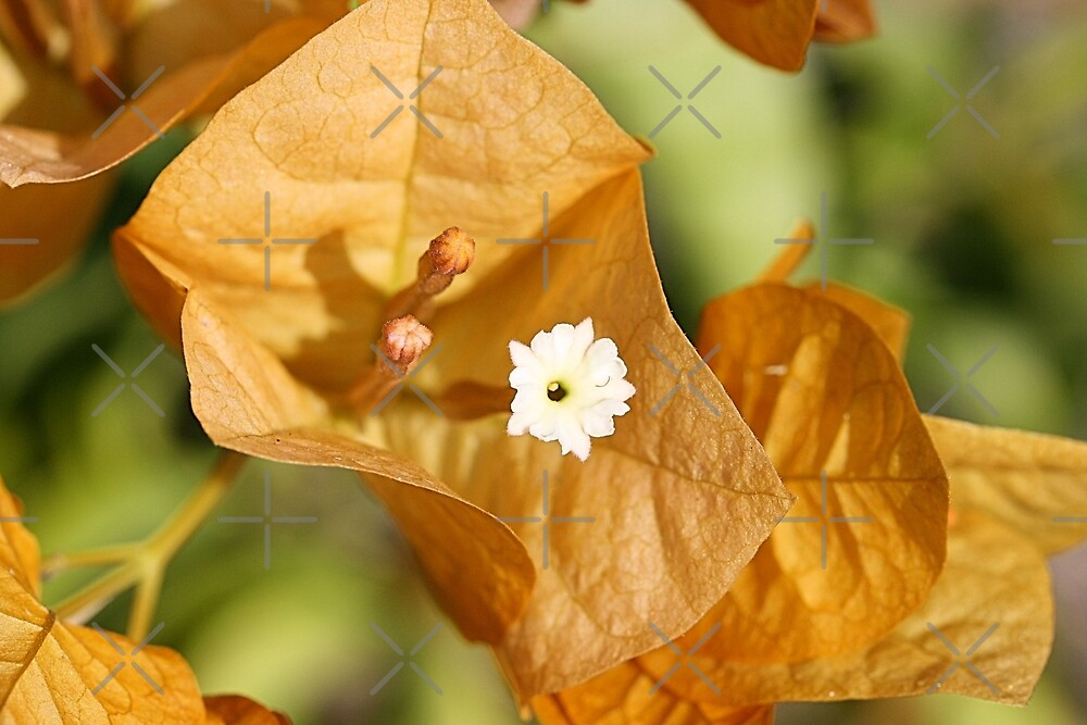 Yellow bougainvillea Flower  by TeAnne
