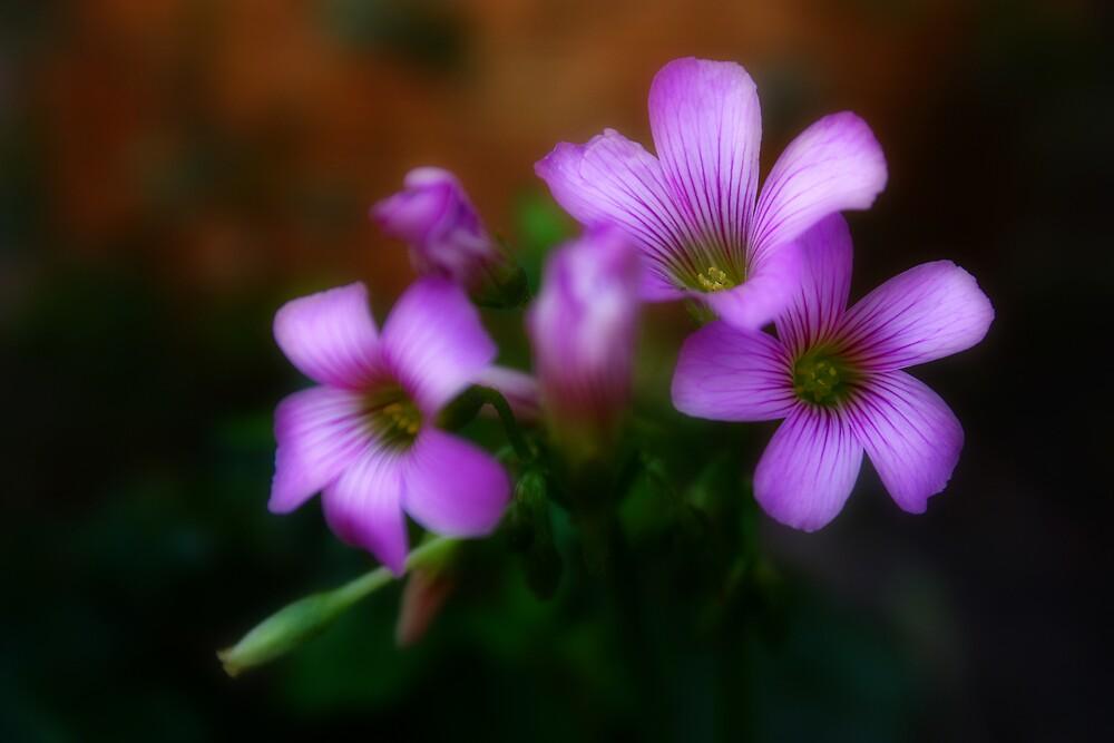 Oxalis Flower by Keith G. Hawley