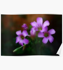 Oxalis Flower Poster