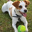 Jack Russell - Colour by RaW Photography - Mandi Harvey