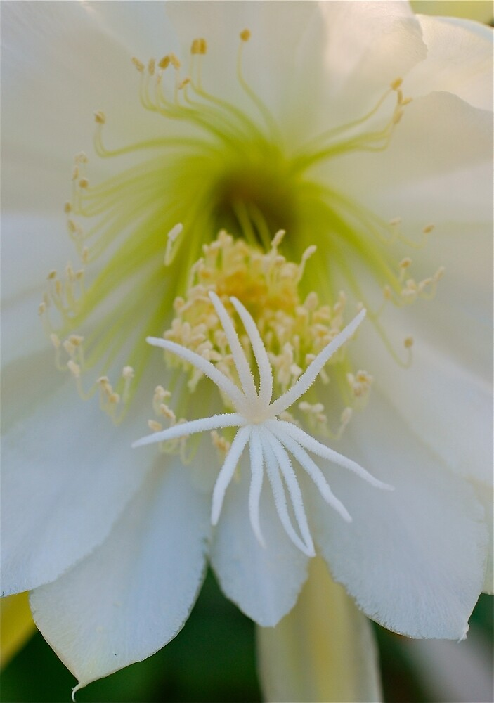 Moon Flower Close Up by Penny Smith