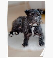 Bailey - Patterdale Terrier Poster