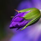 Wild Geranium Bud by Jane-in-Colour