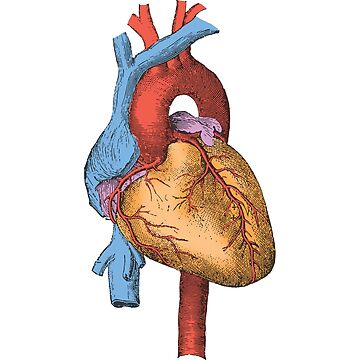 Big Heart - Human Heart by gifrancis