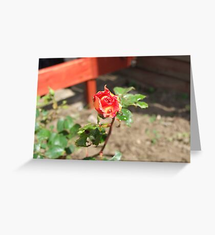 Two toned Rose Greeting Card