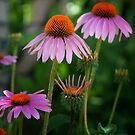 Cone Flowers by Colleen Drew