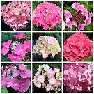 Pink hydrangeas by Joan Harrison