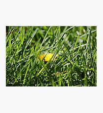 Dandelion amongst green grass Photographic Print
