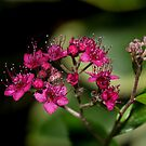 Spiraea by Jane-in-Colour