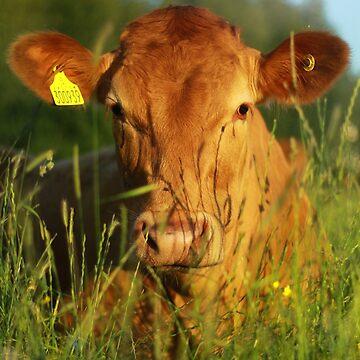 Suffolk Cow by Richray