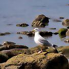 Herring Gull At Charmouth by Susie Peek
