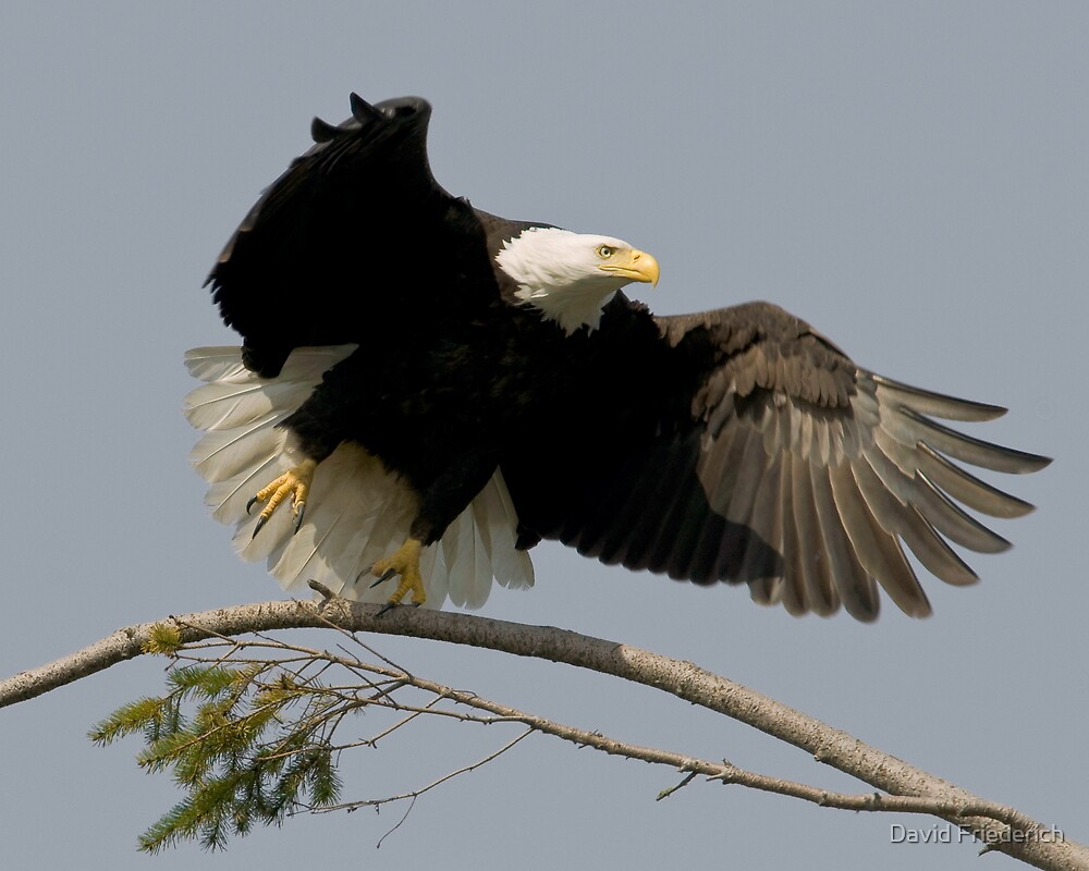 Bald Eagle:  Take Off From a Tree Branch by David Friederich