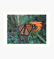 Monarch in Bidens alba Art Print