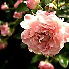 Pink Rose by Jenebraska